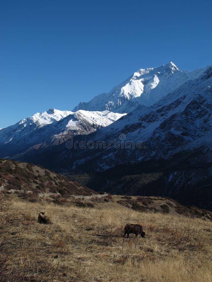 Annapurna två och yaks fotografering för bildbyråer