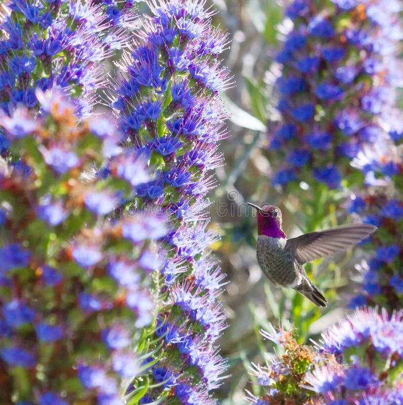 Download Annas Hummingbird fotografering för bildbyråer. Bild av purpurt - 27276629