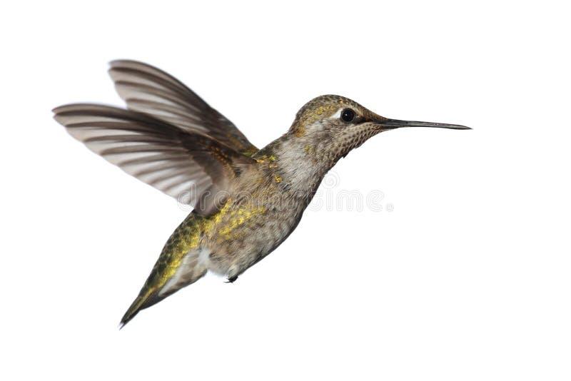 Annas Hummingbird (Calypte Anna) obrazy royalty free
