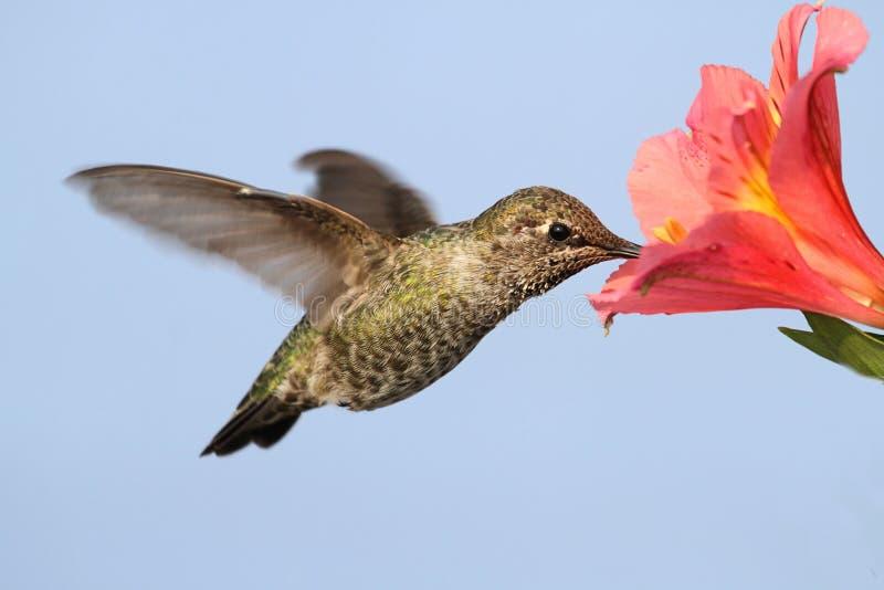 Annas Hummingbird (Calypte Anna) obraz stock