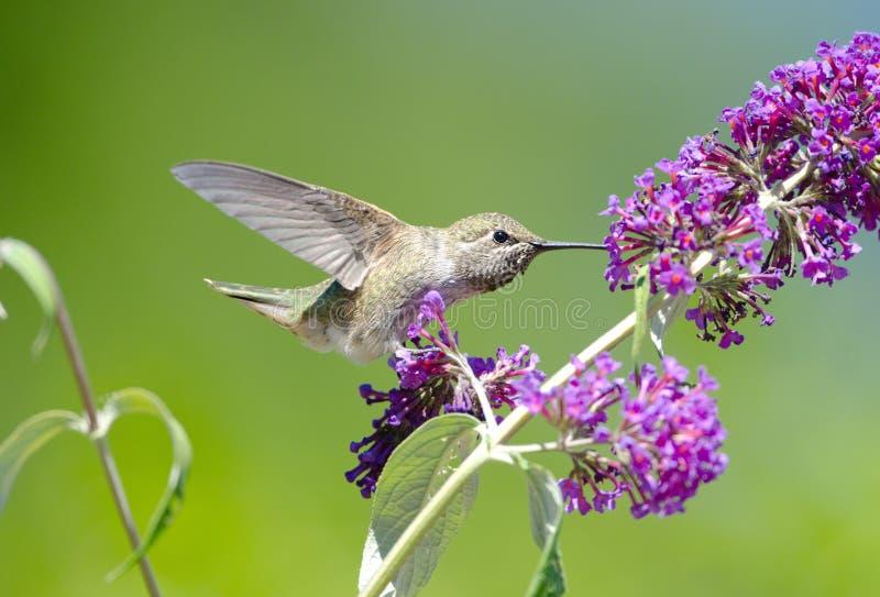 Annas Hummingbird karmienie na Motyliego Bush kwiatach zdjęcie royalty free