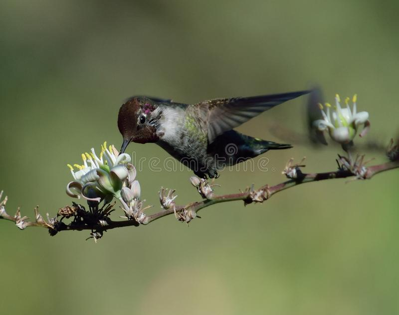 Annas Kolibri stockfotos