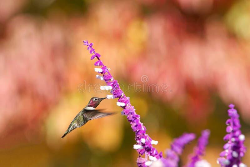 Annas Kolibri, der vom purpurroten mexikanischen Salbei trinkt lizenzfreie stockbilder