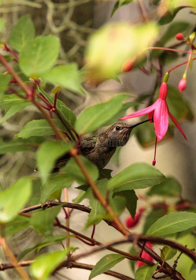 Annaskolibrie, Calypte anna stock fotografie