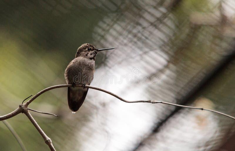 Annaskolibrie, Calypte anna royalty-vrije stock afbeeldingen