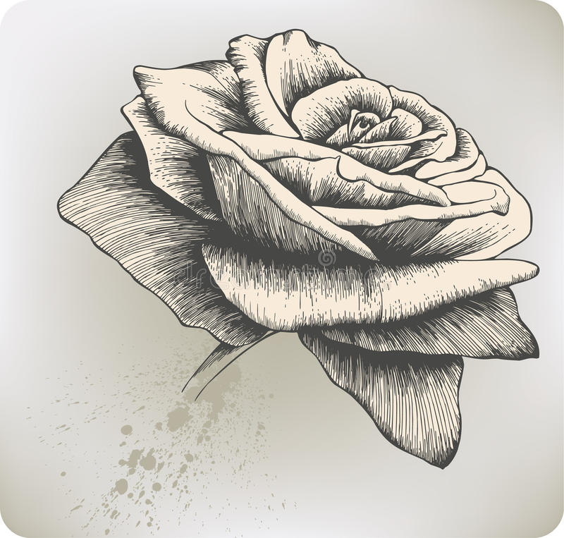 Annata Rosa, mano-illustrazione. Illustrazione di vettore. royalty illustrazione gratis
