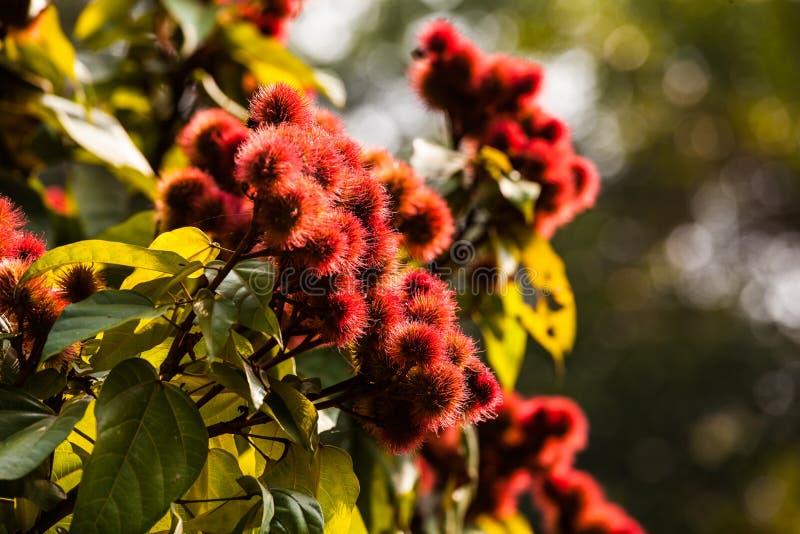 Annatto drzewo fotografia stock