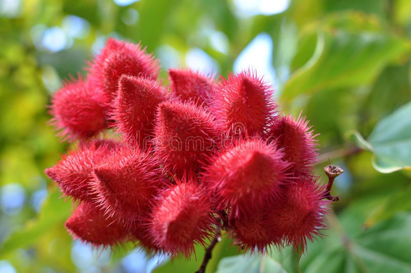 Annatto tree detail stock images