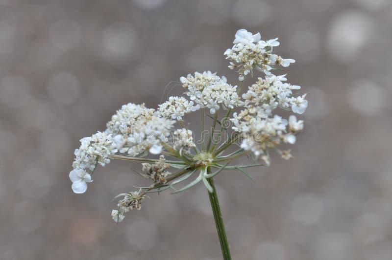 anne kwiatów koronkowa królowa s obraz stock