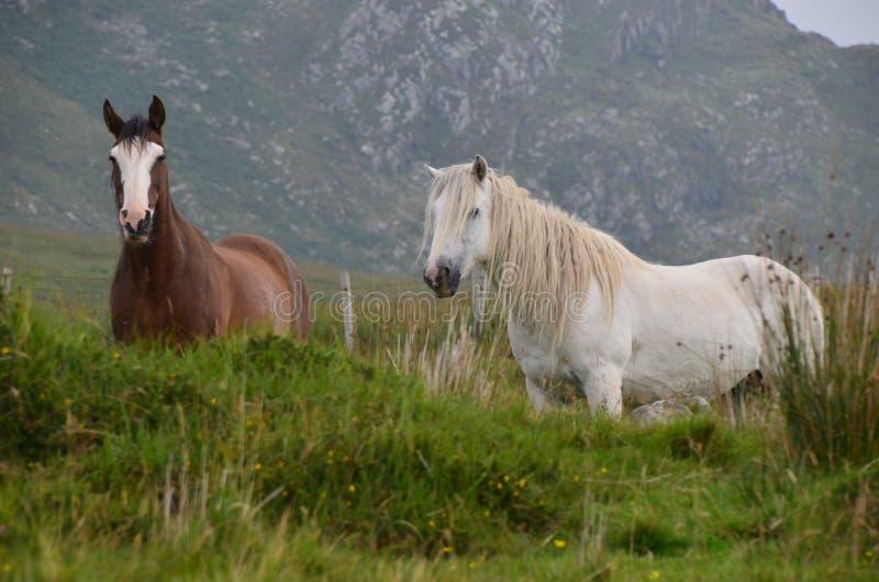 Anneau des poneys de Kerry image libre de droits