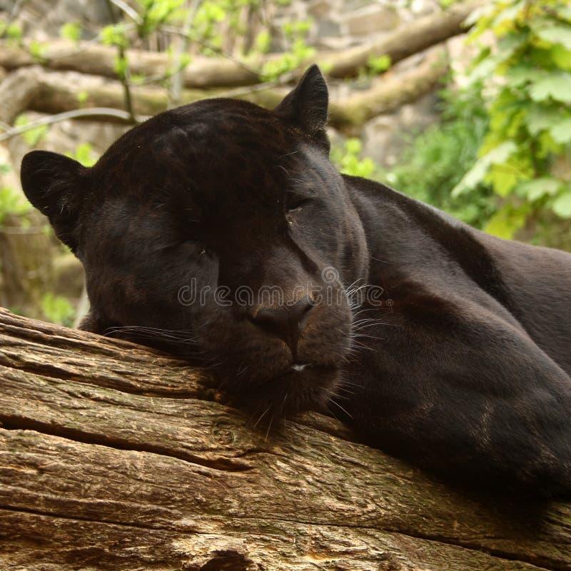 Annerisca il giaguaro fotografia stock libera da diritti