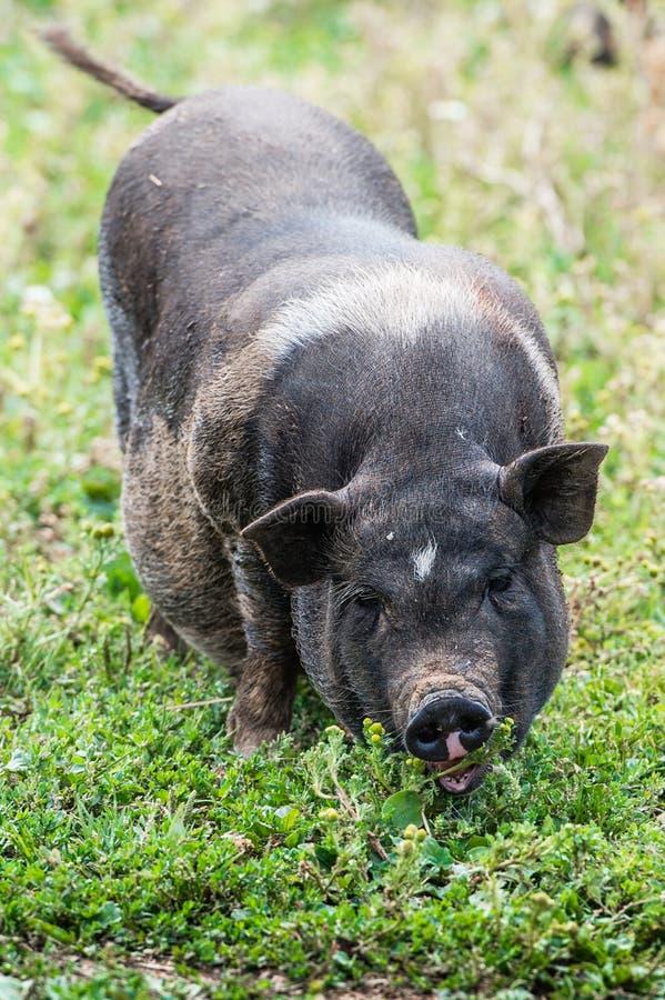 Annerisca il maiale fotografie stock libere da diritti