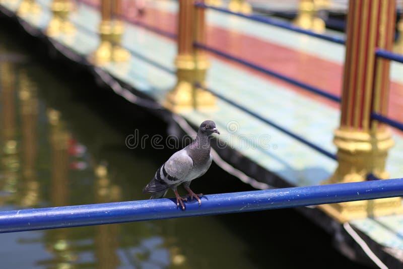 Annerisca la colomba fotografie stock libere da diritti