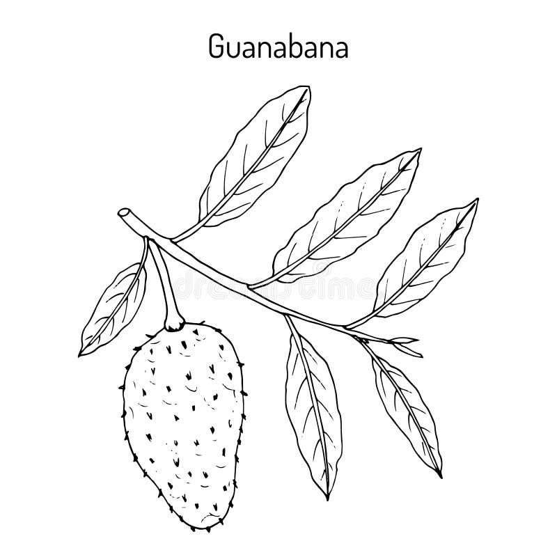 Ejemplo Del Dibujo De La Mano De La Guanábana Ilustración