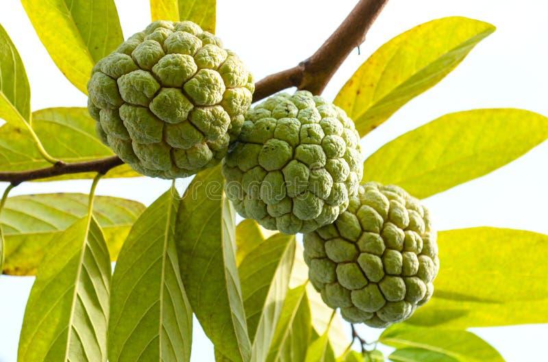 Download Annona squamosa stock image. Image of edible, colour - 35802763