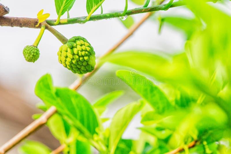 Annonebaum ` s Obstbau nach dem Regen stockbilder