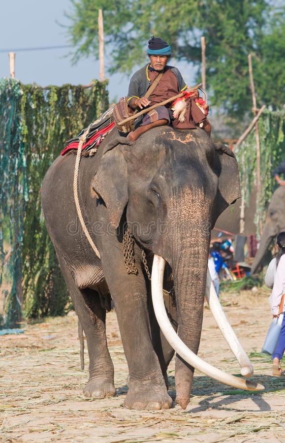 The Annual Elephant Roundup in Surin, Thailand. SURIN - NOVEMBER 21: Mahout riding an elephant with long tusks during The Annual Elephant Roundup on November 21 stock photo