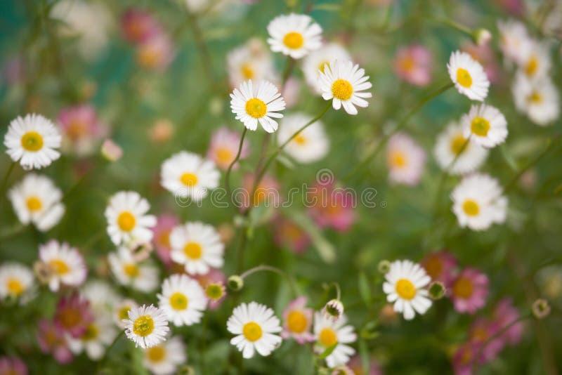 Daisy Fleabane royalty free stock images