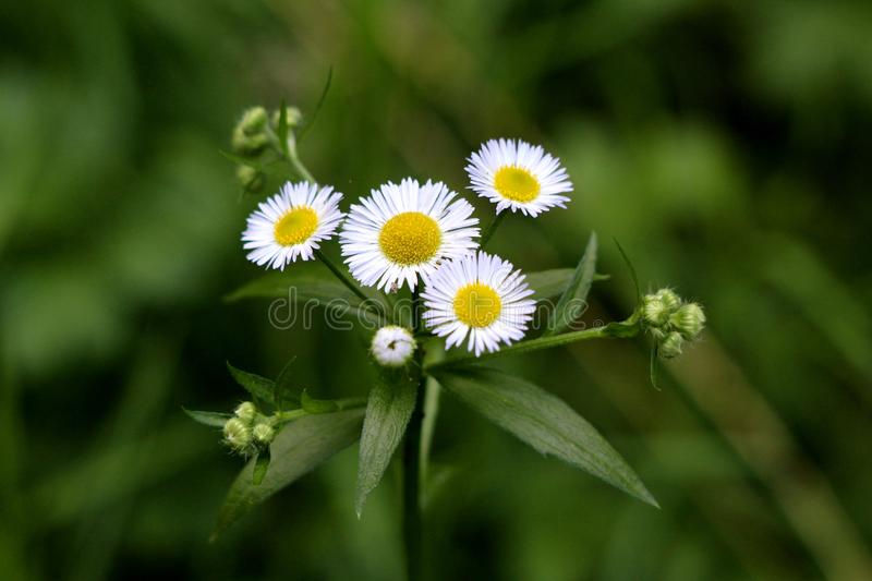 Annual fleabane or Erigeron annuus herbaceous plant with closed flower buds and open flowers consisting of bright white petals. Annual fleabane or Erigeron stock images
