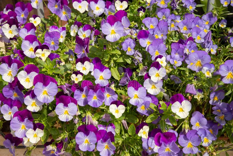 Pansy Purple violet or violet flowers. Annual flower market exhibition in Castellaro Lagusello, Monzambano, Mantua, Italy, Europe royalty free stock photo