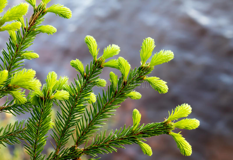 Download Annual Growth Of The Spruce Stock Photo - Image: 31312650