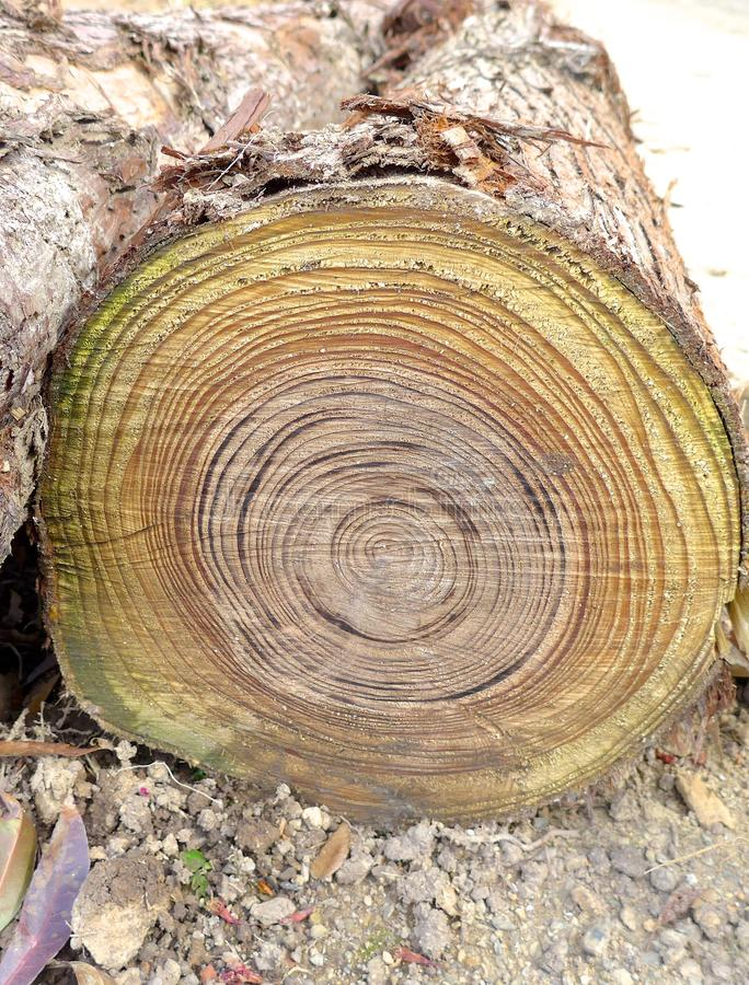 Annual rings closeup on tree trunk royalty free stock images