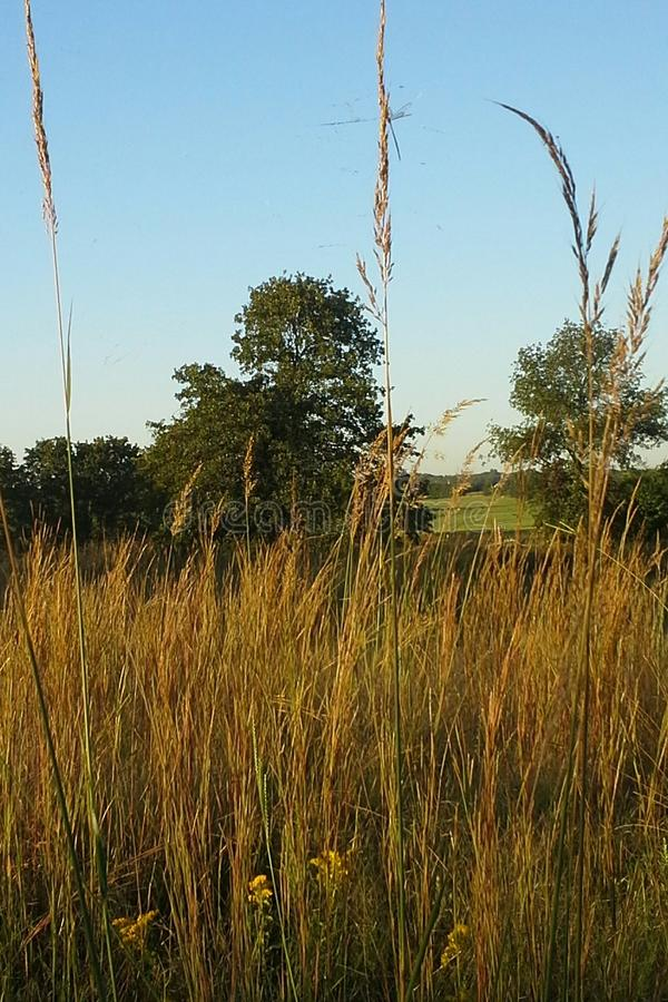 Annual Ryegrass. Grows hearty in the fields of Oklahoma. It is distinguished by the reddish color on the lower bud of the stem. It grows from three to six feet stock photos