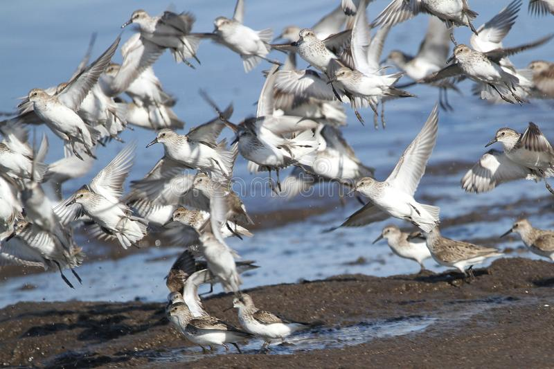 Sanderling Flock in the Spring. Annually, thousands of shorebirds converge on the Delaware coast to consume Horseshoe Crab Eggs stock images