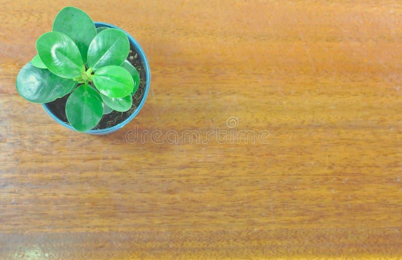 Annulata фикуса, небольшое дерево в баках, черная, белая предпосылка, круглые листья, небольшие листья, стоковая фотография rf