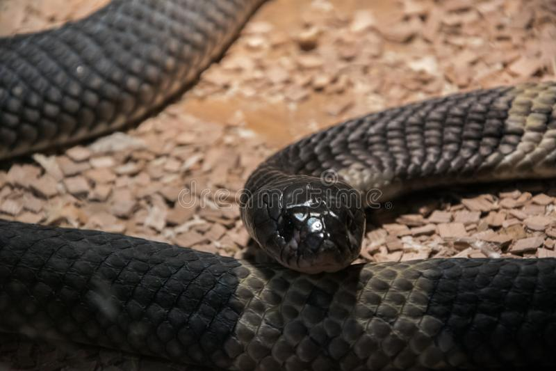 Annulifera Snouted do Naja da cobra, chamado igualmente - cobra egípcia unida, espécie altamente peçonhento imagens de stock