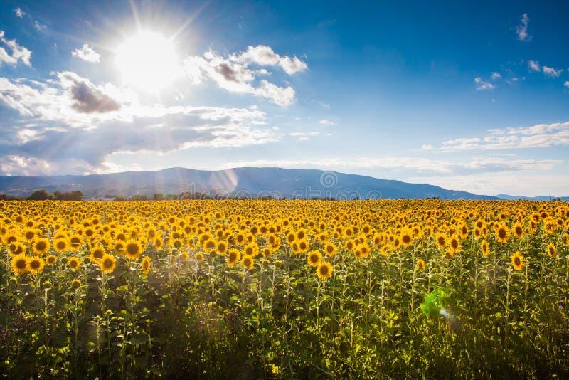 Annuus подсолнечника, или общий солнцецвет в поле стоковое изображение