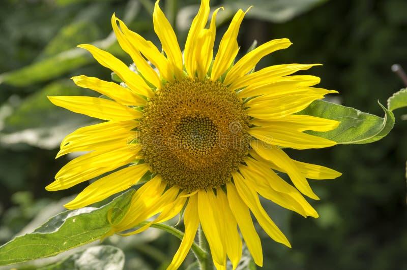 Annuus подсолнечника, общий солнцецвет в цветени стоковые изображения rf
