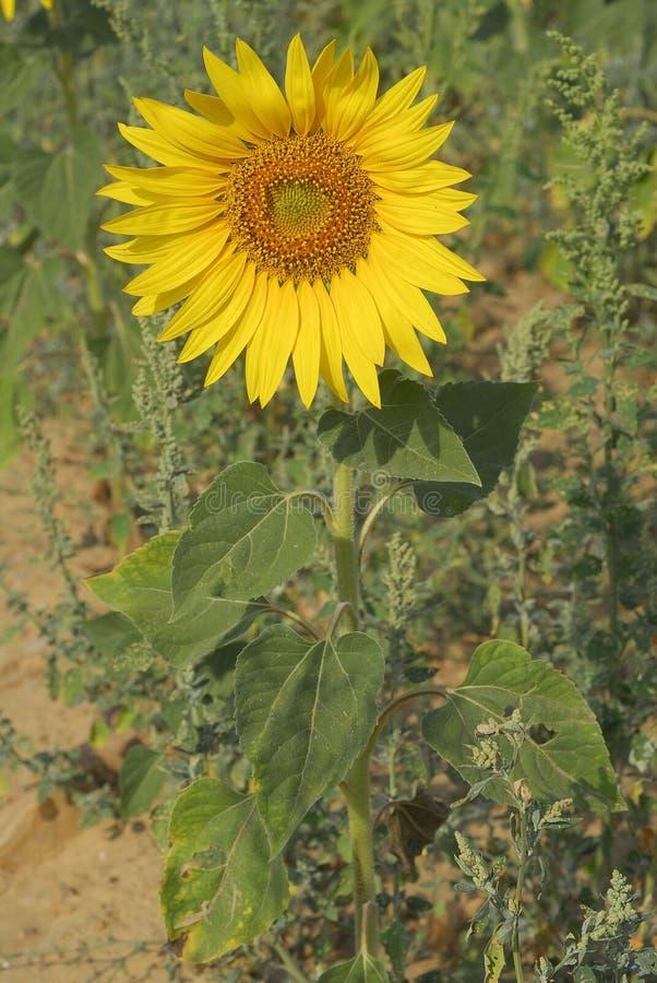 Annuus подсолнечника, солнцецвет, заводы аллергенов стоковая фотография rf