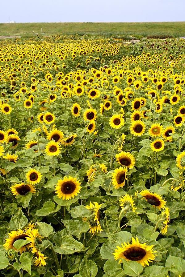 Annuus подсолнечника солнцецвета стоковое изображение