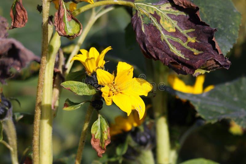 Annuus van Helianthus van de herfstzonnebloemen alvorens met gele bloesems en bruine droge bladeren te vernietigen - Viersen, Dui stock afbeelding