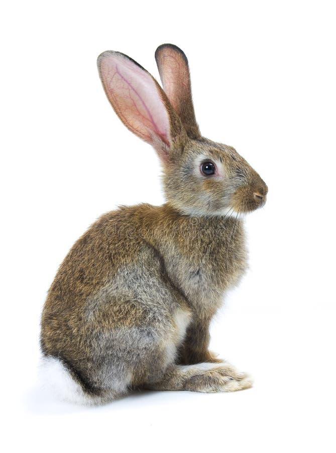 Ano novo feliz de coelho fotografia de stock