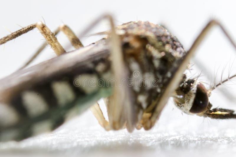 Anofelessen SP is species van mug in ordediptera, Anofelessen SP In het water stock afbeelding