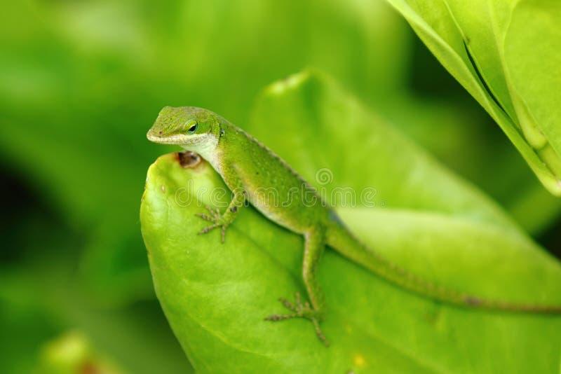 Download Anole卡罗来纳州蜥蜴 库存图片. 图片 包括有 皮肤, 夏威夷, 眼睛, 敌意, 变色蜥蜴, 截肢术 - 72367889