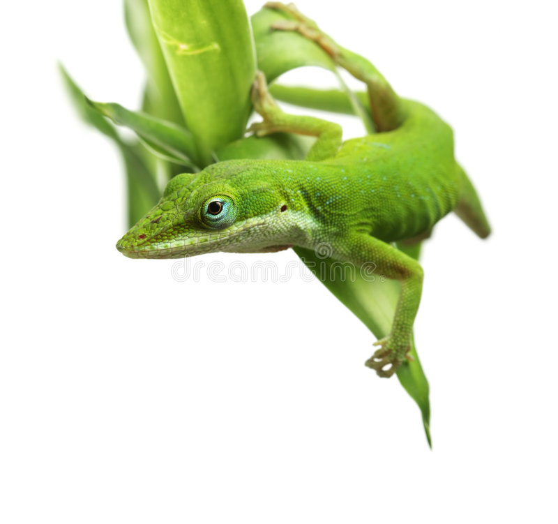 anole蜥蜴 免版税库存图片