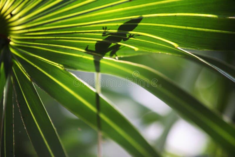 Anole蜥蜴2 库存图片