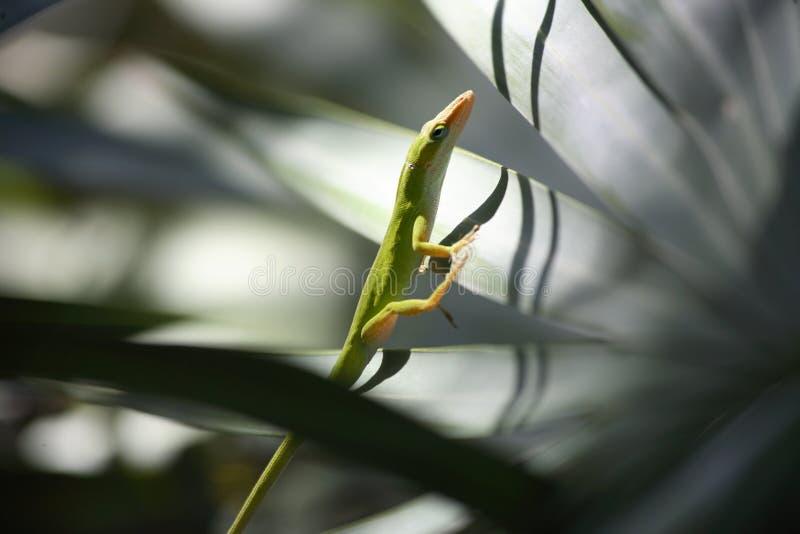 Anole蜥蜴3 库存图片