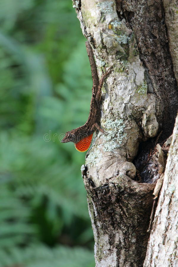 Download Anole Royalty Free Stock Photos - Image: 28725668