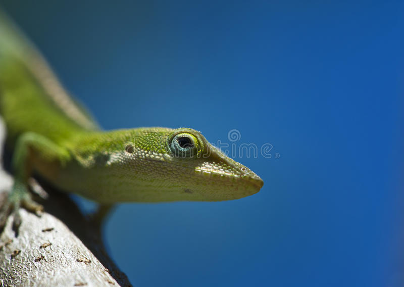 Anole on a branch. An Anole lizard with a blue sky background stock photos