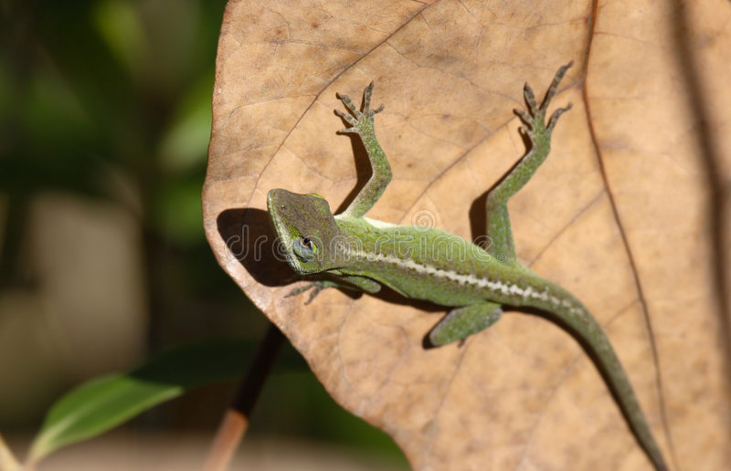 Download Anole catching the sun stock image. Image of wild, reptile - 1703613