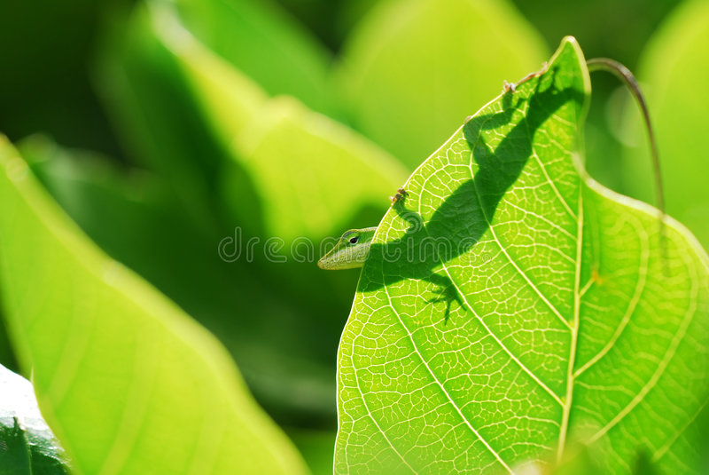 anole Hawaii jaszczurka zdjęcie stock