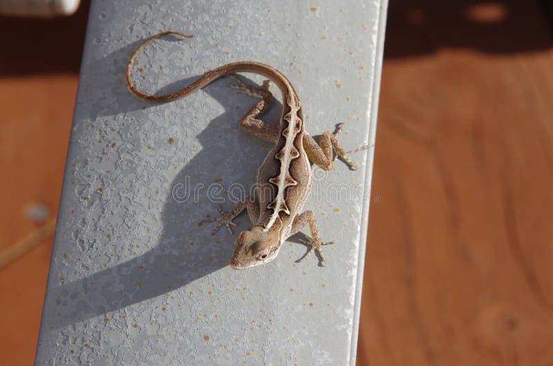 Download Anole, lagarto, salamandra imagen de archivo. Imagen de vacaciones - 41904711