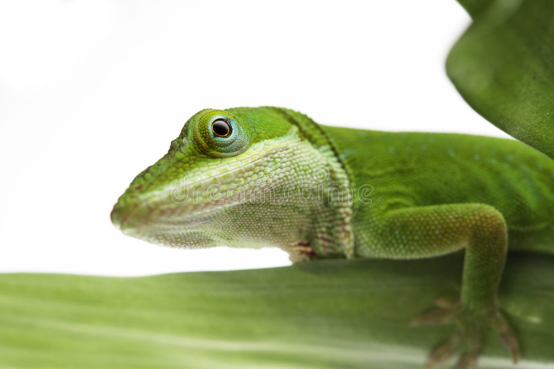 Download Anole Lizard Stock Image - Image: 6393801