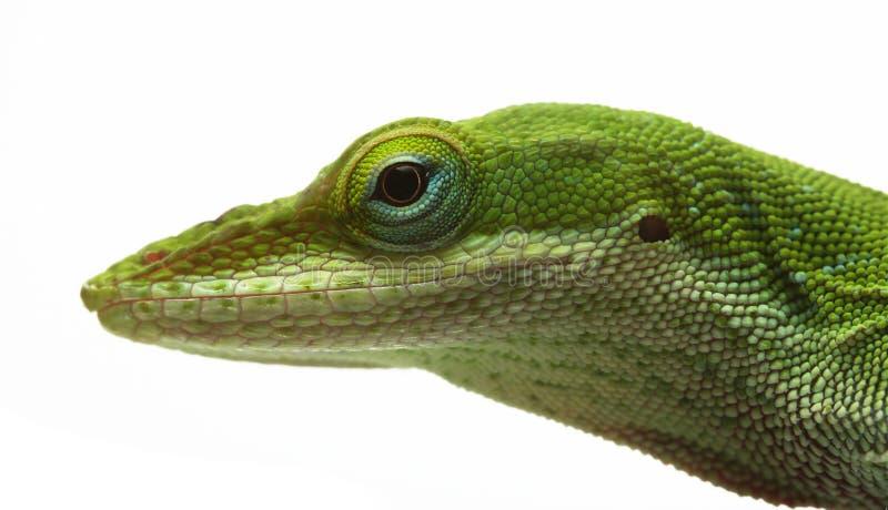 Download Anole lizard stock image. Image of primitive, lizard, plant - 6624835