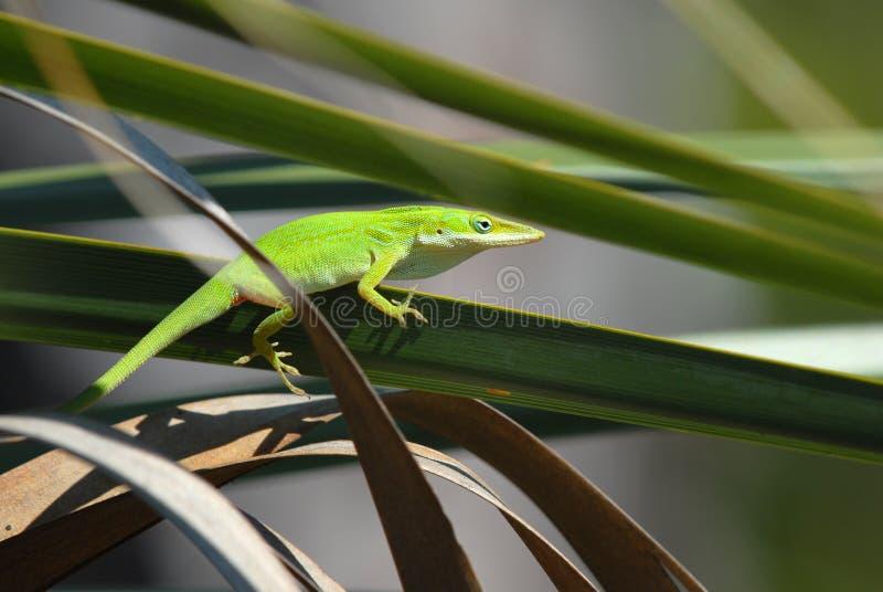 Anole verde nel sole fotografie stock