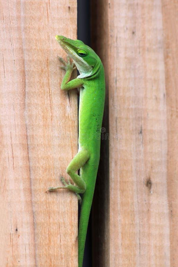 Anole vert essayant de se cacher entre une barrière en bois